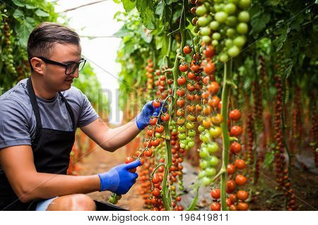 Young Man With Cherry Tomatoes In Greenhouse