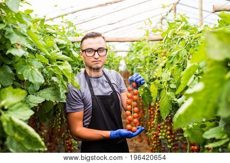 Farmer At Work With Cherry Tomatoes  In Greenhouse