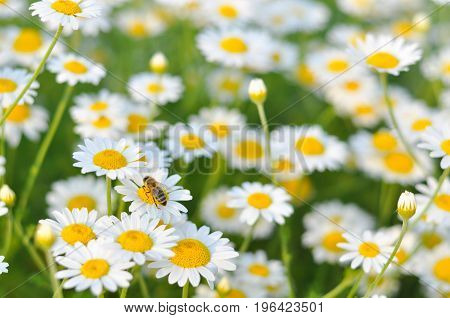 Beautiful daisy flower in the grass in springtime. Chamomile field flowers background. Herbal plants chamomile in the wild