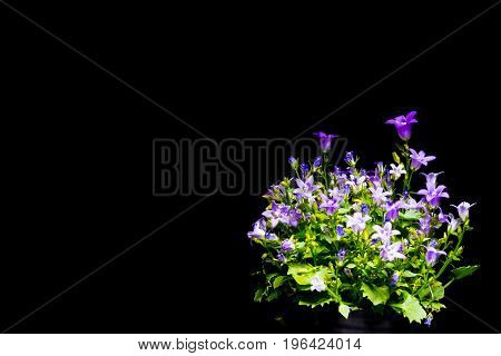 Violet bellflowers with black background a lot of small purple flowers detail