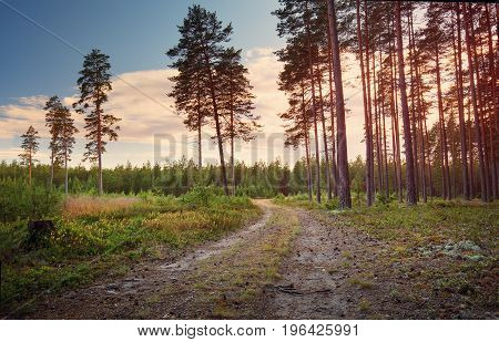Coniferous forest with pine trees at sunset