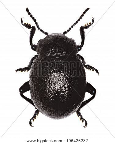 Bloody-Nosed Beetle on white Background - Timarcha montana (Fairmaire 1873)