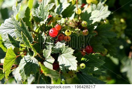 ripening berries of red currant in sunny light