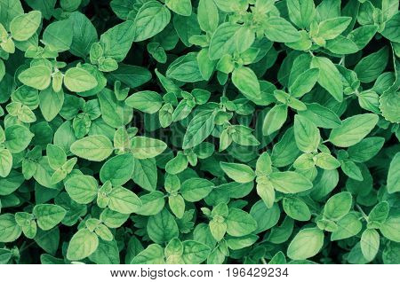 Green dark basil herb plant leaves fresh growing in garden, herbal background toned, top view.