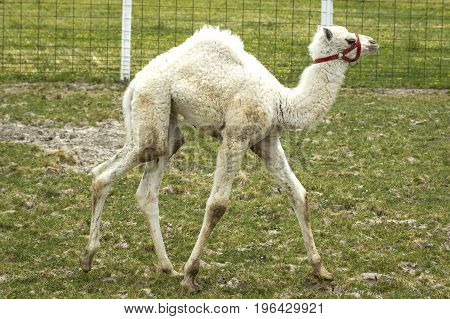 Albino camel baby walks in grass on a small farm field near Monroe, Indiana.