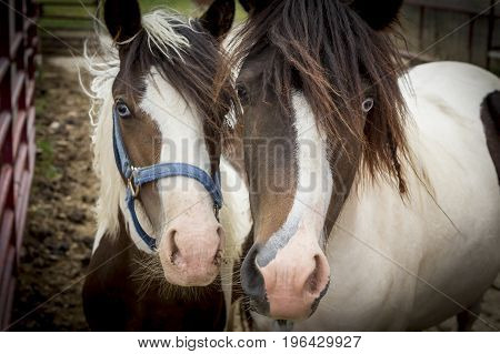 A close up portrait of two very cute ponies on a small farm near Monroe Indiana.