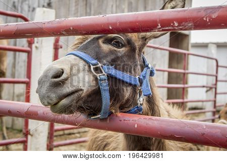 Humorous picture of a donkey looking through a gate on a farm near Monroe, Indiana.