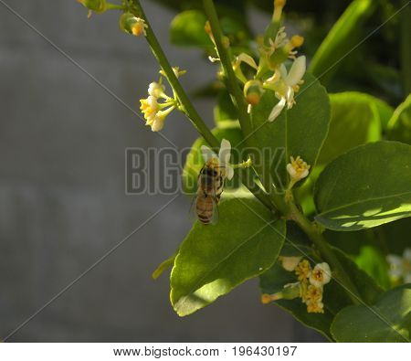 yellow Bumblebee gathering nector and pollinating a fruit tree.