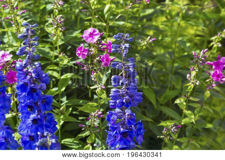 Beautiful spring background with with Blue Delphinium Bells and Pink Phloxes.