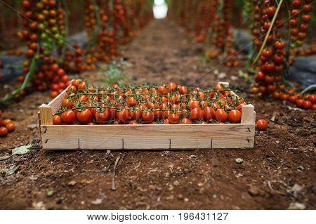 Box Of Bunches Cherry Tomatoes  In Greenhouse