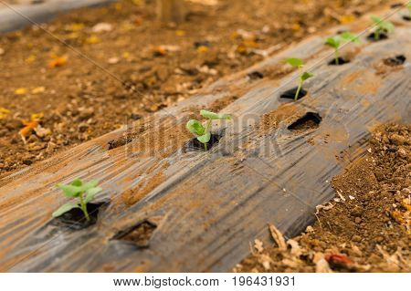 Cucumbers In The Greenhouse Little Vegetables On The Plants Early Spring And Garden Concept