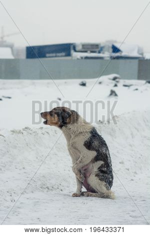 The dog pushes the paws from the cold. Poor abandoned dog in desperation in the winter.