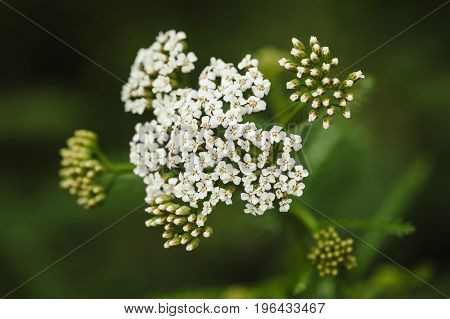 White yarrow on a green blurry background close-up. View from above.