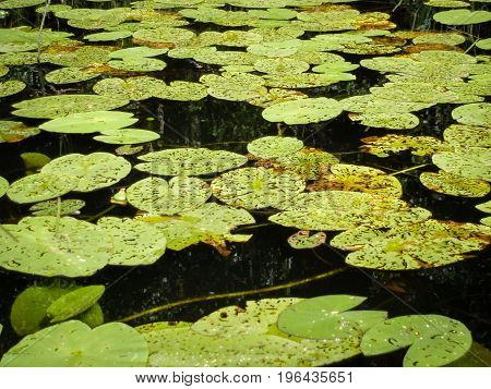 Green eaten up water lilly leaves on water surface
