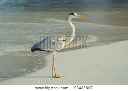 Big Grey Heron standing on the beach