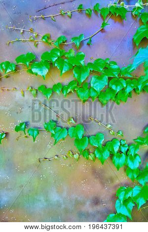Green Veins Of Ivy Creeper On A House Iron Brown Wall, Beautiful Decorative Background