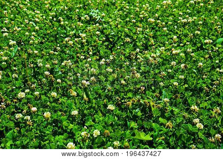 Background Of Green Meadow Of Irish Clover - Symbol Of Saint Patrick's Day