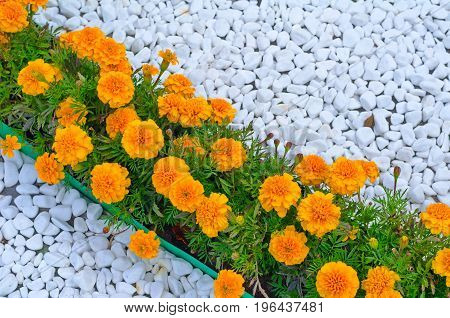 Marigolds (tagetes) On Flowerbed, Designed With White Cobble Stones
