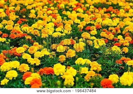 Background Of Summer Flowers, Meadow Of Vivid Marigold Flowers, Selective Focus, Shallow Depth Of Fi