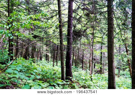 Many trees in the middle of a big Canadian forest during summer.