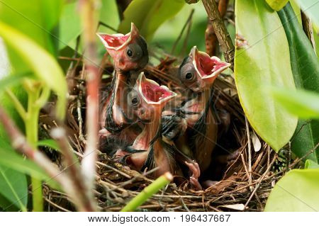Three six day old cardinals in their nest with their mouths wide open waiting for mom or dad to come and feed them
