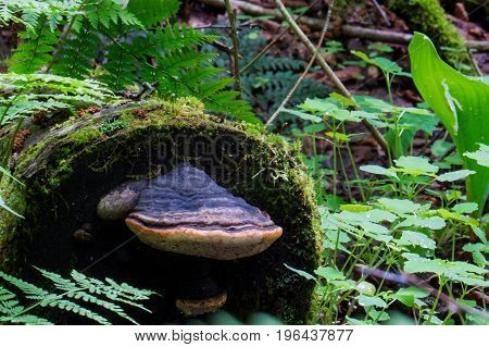 A big mushroom on an old natural tree trunk in the middle of a big Canadian forest.