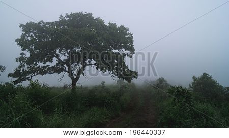 morning fog in an oak grove. tree close-up
