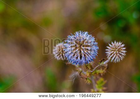 Echinops sphaerocephalus. Beautiful prickly plant looks like a blue star