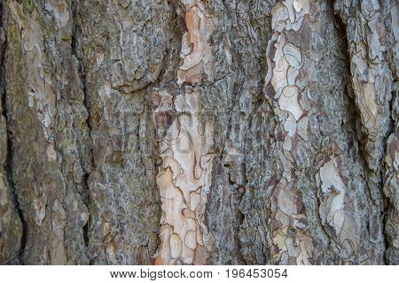 Bark Of Crimean Pine, Wooden Texture, Close