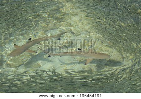 Reef shark surrounded with the fish cluster in the shallow water