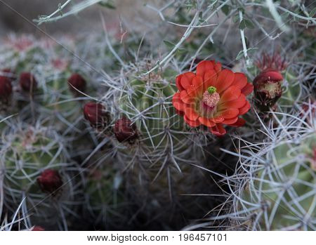 Single Claret Cup Cactus Flower Open with nearby buds