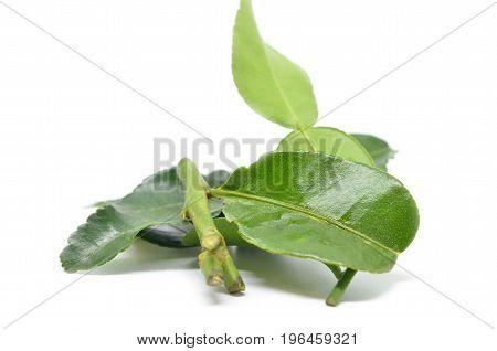 Bergamot Kaffir Lime Leaves