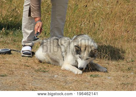 Mowing a dog malamute with a comb
