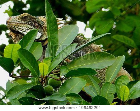 Amazing iguana in the treetop in the amazon region