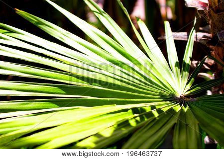Palm tree. Green tropical plant. Mediterranean tree. Macro.