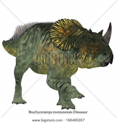 Brachyceratops Dinosaur on White with Font 3d illustration - Brachyceratops is a herbivorous Ceratopsian dinosaur that lived in Alberta Canada and Montana USA in the Cretaceous Period.