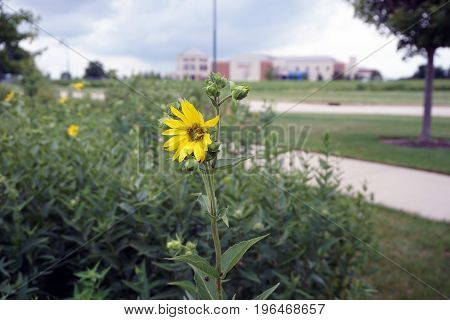 A prairie rosinweed flower (Silphium integrifolium), also known as the whole-leaf rosinweed and the entire-leaf rosinweed, blooms in Plainfield, Illinois during June.