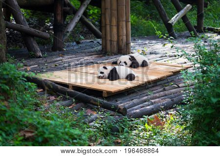 Newborn baby pandas lying down in the forest Chengdu Sichuan Province China