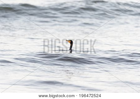 Double-crested Cormorant bobs along in trough between waves