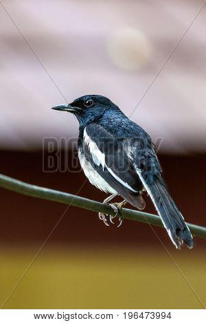 Oriental magpie-robin bird perching on a branch blurred background.