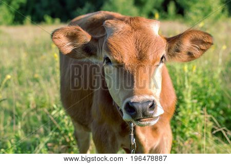 A small calf is crouching in a meadow