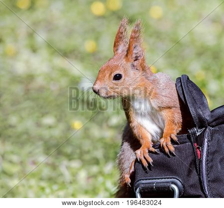 Young Red Squirrel Sitting In Bag Of A Park Visitor