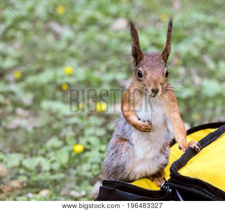 Young Fluffy Squirrel Sitting On Bag Against Blurred Grass Background
