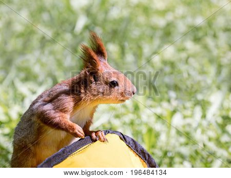 Red Fluffy Squirrel Sitting On Bag Looking To The Side