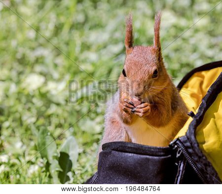 Red Squirrel Siting In Bag And Eating Nut Stolen From It
