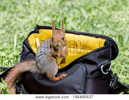 Red Squirrel Sitting On Bag In The City Park On Blurred Green Grass Background