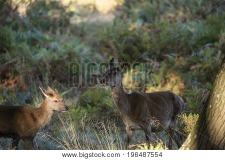 Beautiful Family Group Herd Of Red Deer Stag Cervus Elaphus During Rut Season In Forest Landscape Du