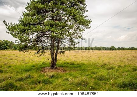 Solitary scots pine tree in the foreground of a large heather field in the Netherlands on a cloudy day in the beginning of the summer season.