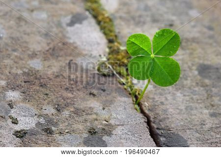 Four leaf clover growing in a split between stones symbol for luck and fortune concept power of nature closeup with copy space selected focus narrow depth of field