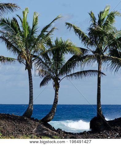 Three Palm Trees At The End Of Pohoki Beach